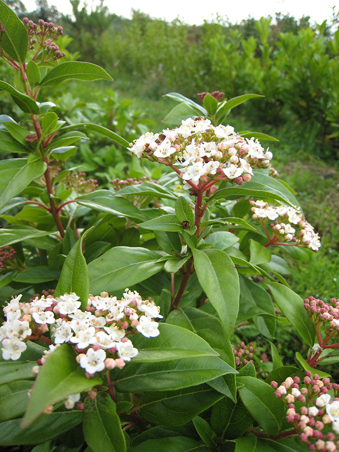 laurustinus viburnum tinus chew valley trees. Black Bedroom Furniture Sets. Home Design Ideas